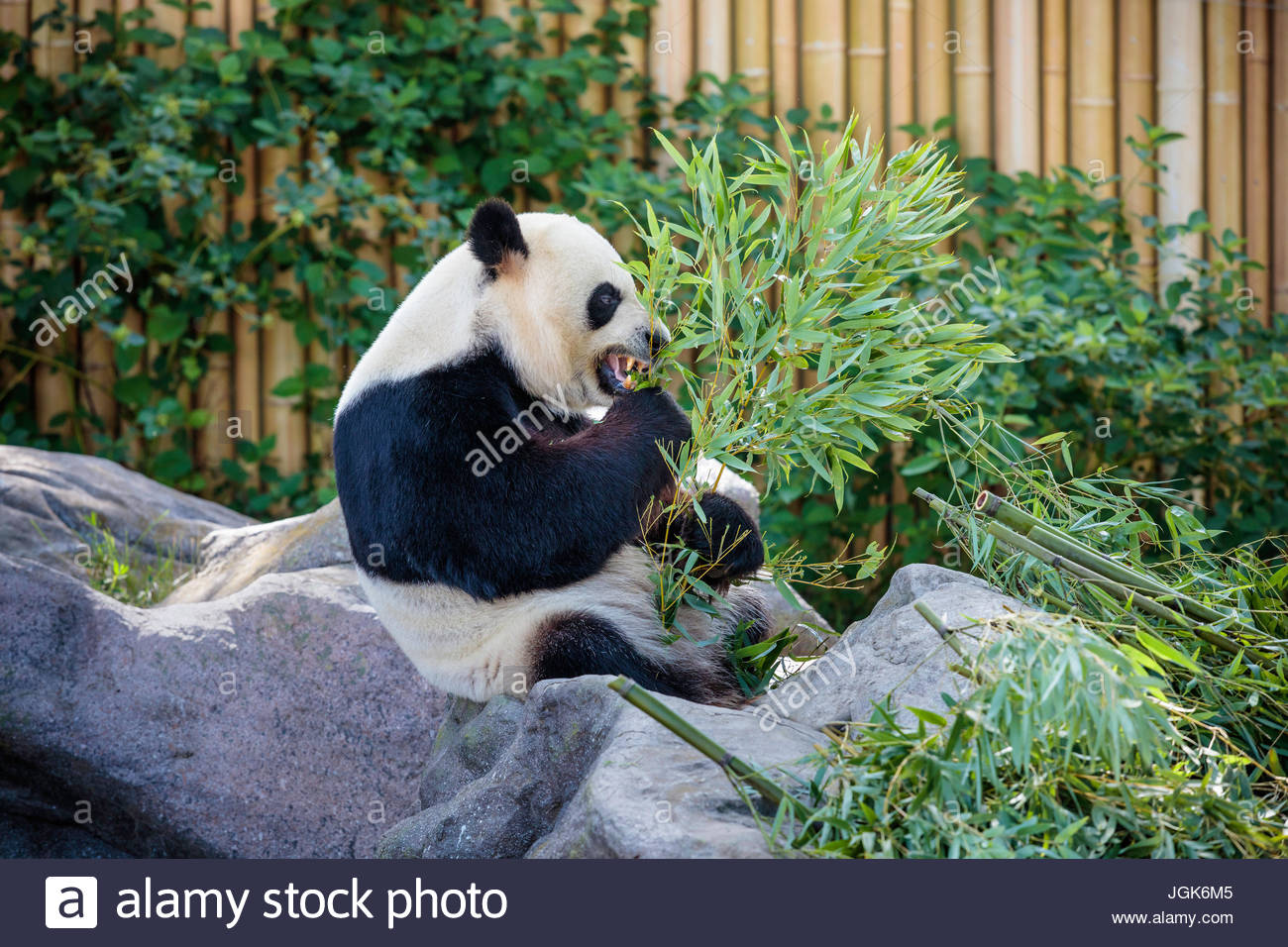 Toronto zoo park giant panda exhibit Ailuropoda melanoleuca; panda bear exhibit travel tourism attraction zoological - Stock Image
