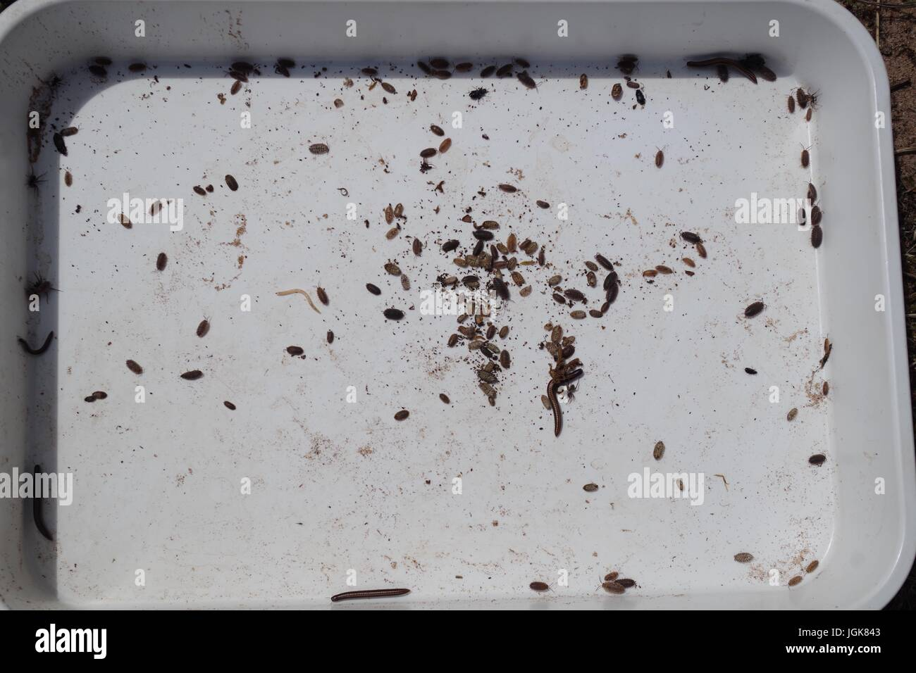 Sample Tray of Pitfall Trap Collected Invertebrates for an Ecological Study of Beetle Population Distribution. Dawlish - Stock Image