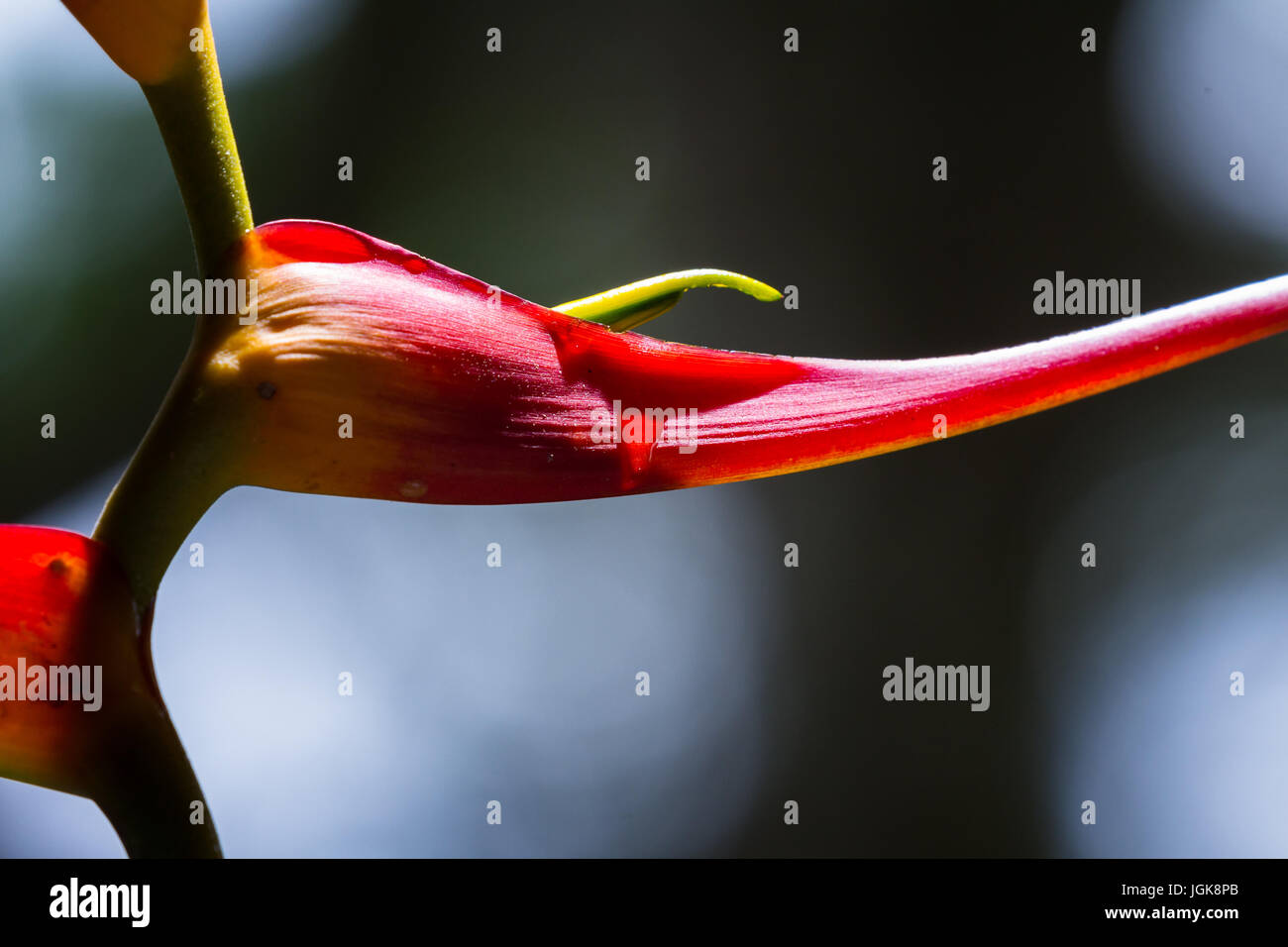 close up of a beautiful tropical Heliconia latispatha with vivid colors ranging from yellow to red - Stock Image