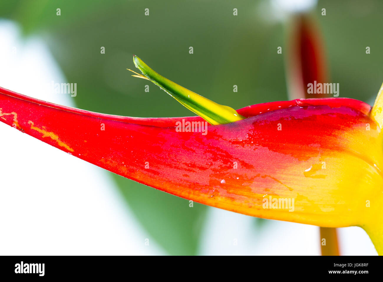 close up of a beautiful tropical Heliconia latispatha with vivid colors isolated on a white background - Stock Image