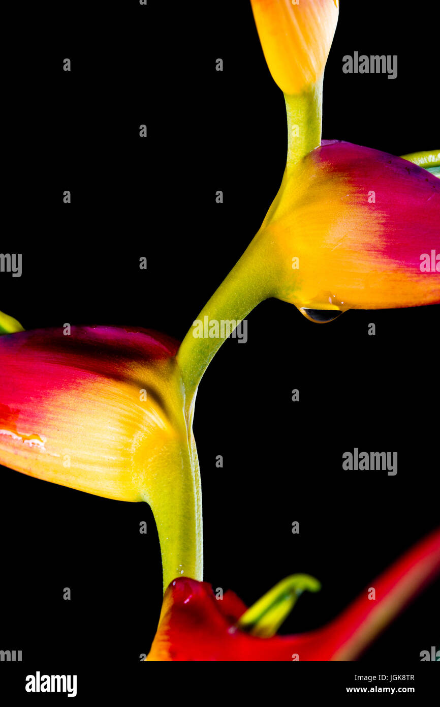 close up of a beautiful tropical Heliconia latispatha with vivid colors isolated on a black background - Stock Image