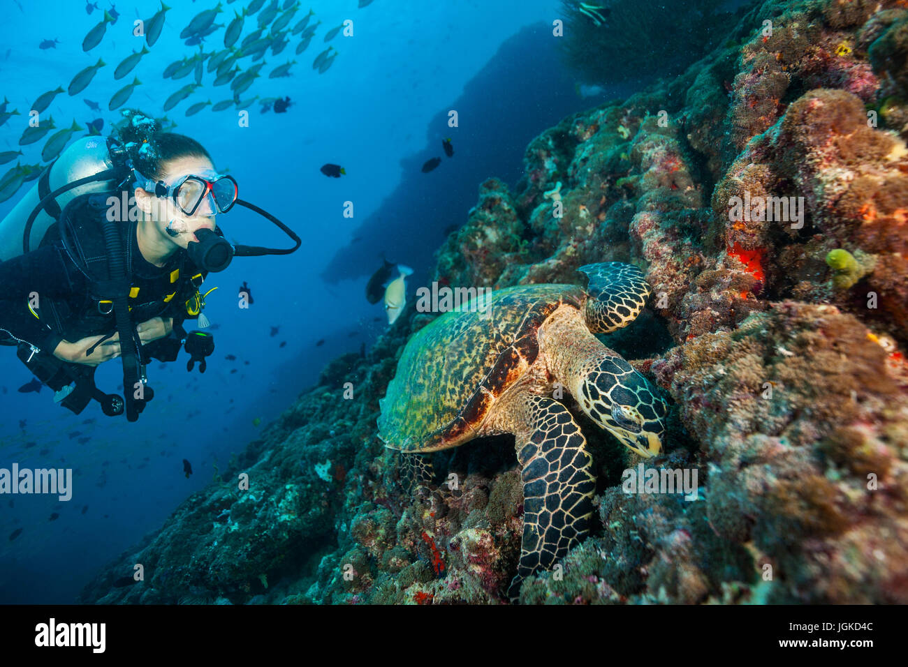 Woman scuba diver exploring sea bottom. Underwater life with beautiful corals and hawksbill turtle - Stock Image