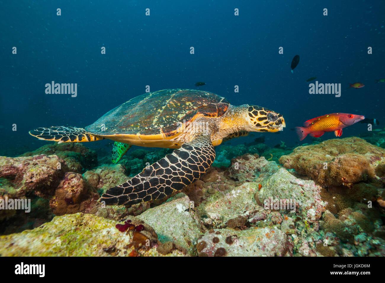 Maldivian hawkbill turtle exploring coral reef. Underwater life and ocean ecosystem - Stock Image