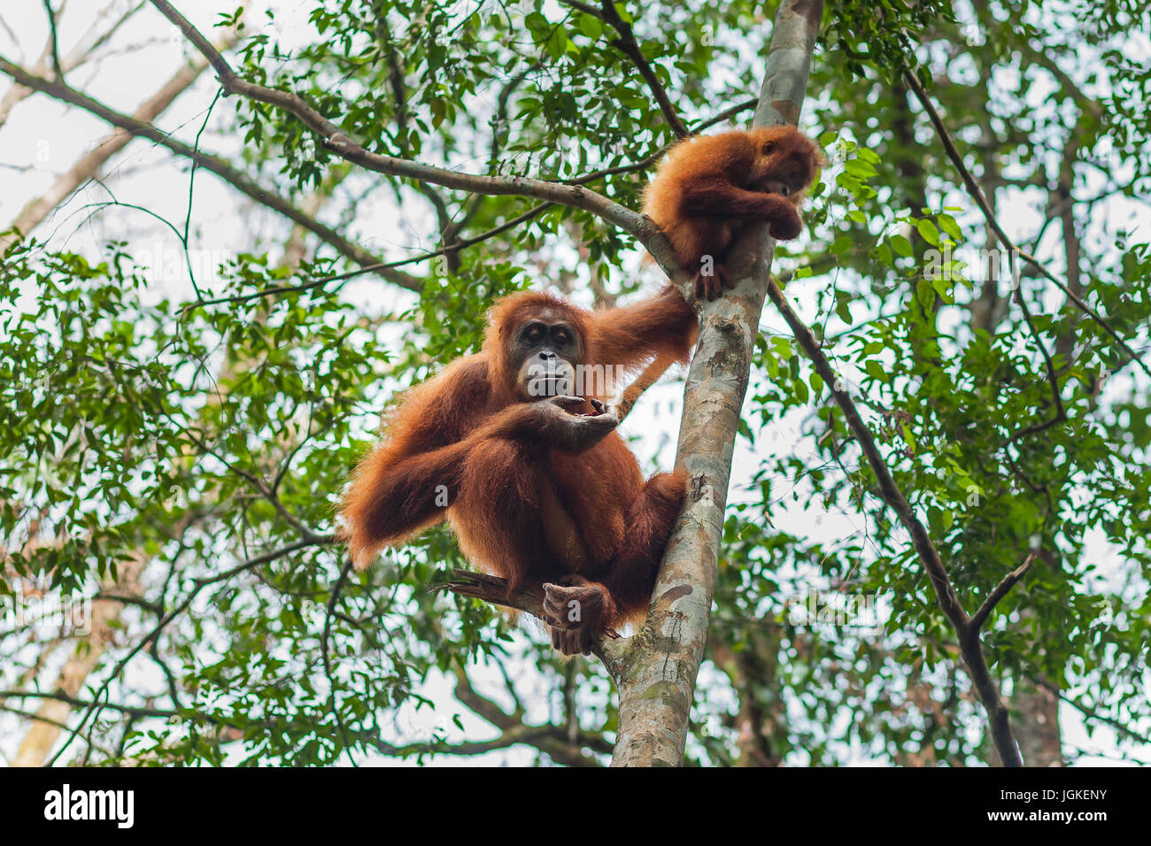 Orangutan in the wild forests of Sumatra Stock Photo