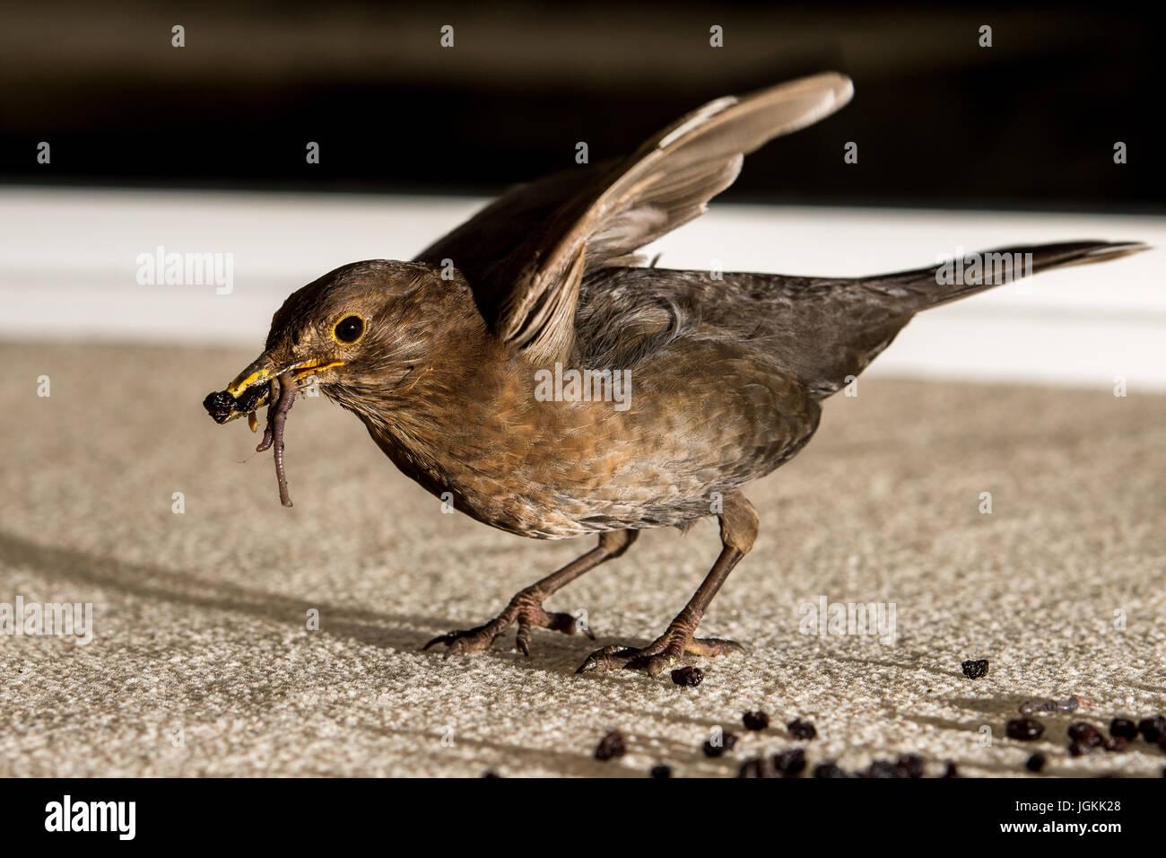 Blackbird collecting food - Stock Image