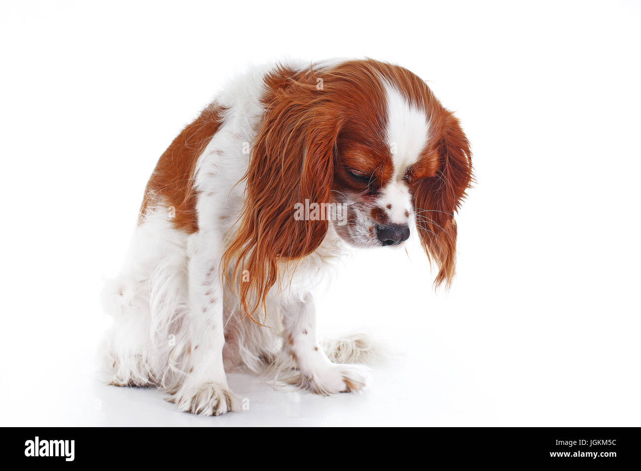 Sad dog. Cavalier king charles spaniel dog photo. Beautiful cute cavalier puppy dog on isolated white studio background. - Stock Image