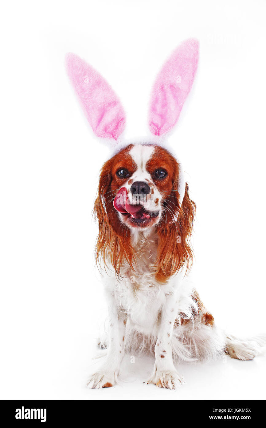 Happy easter! Easter dog concept. King charles spaniel with bunny rabbit ears - Stock Image