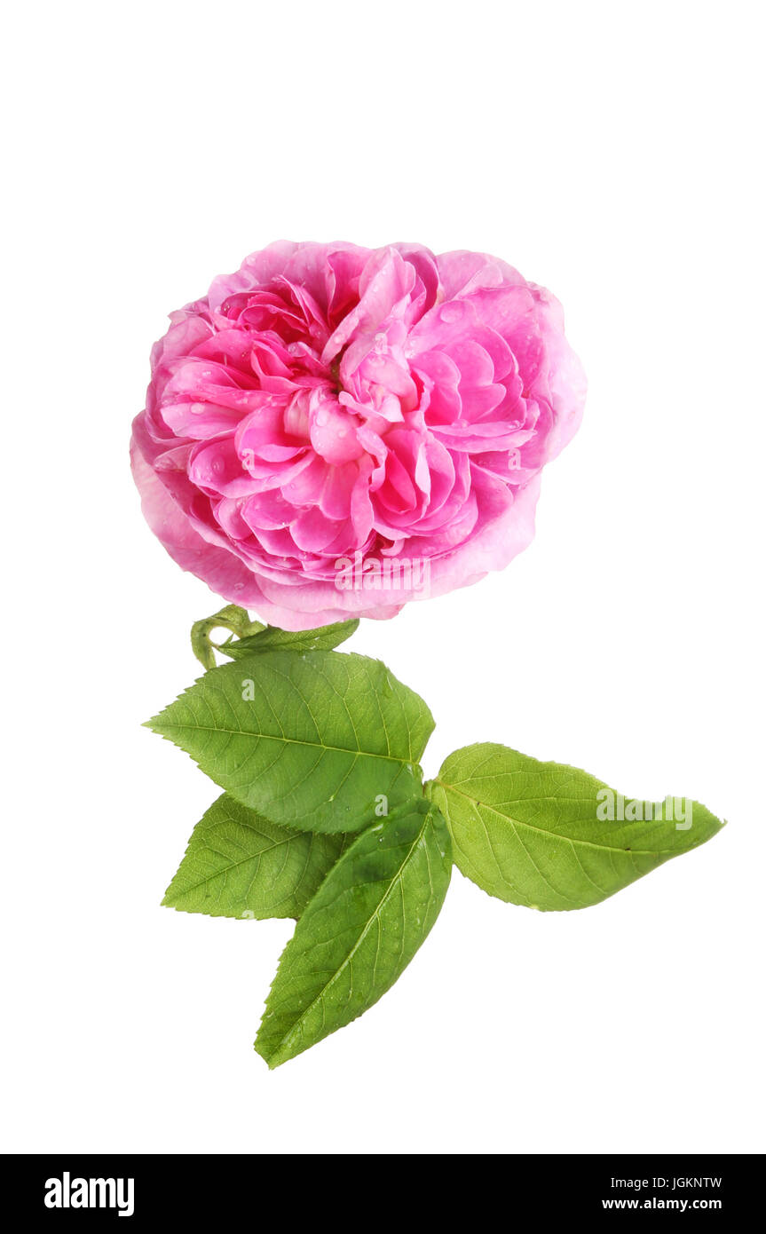 Magenta rose flower and leaves isolated against white - Stock Image