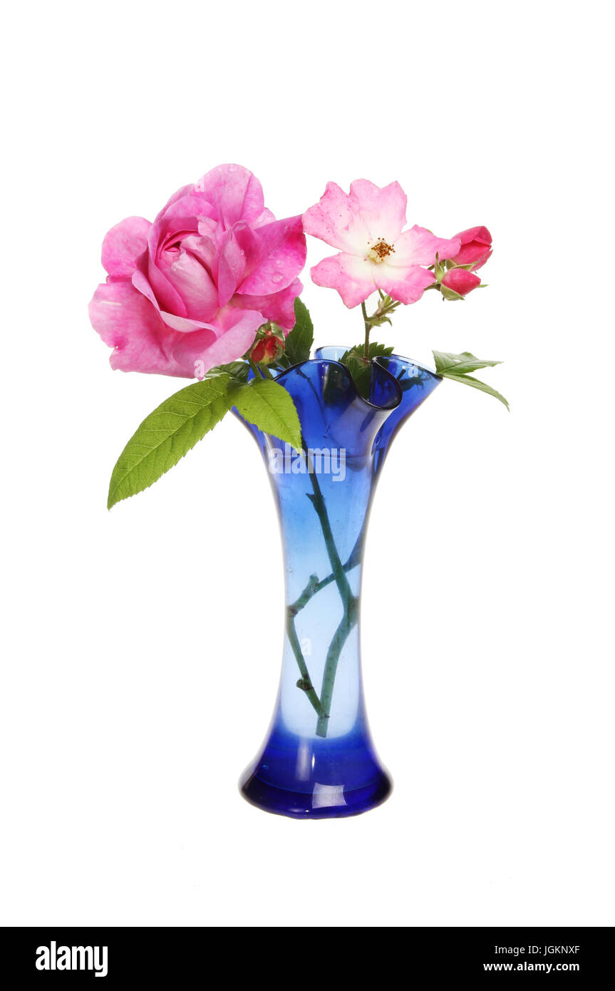 Two magenta roses and flower buds in a blue glass vase isolated against white - Stock Image