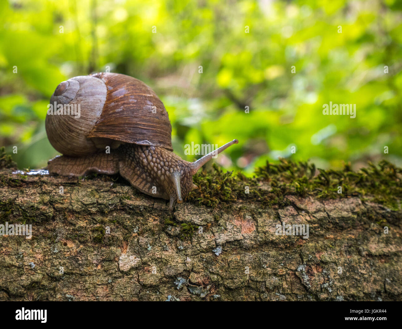Roman / Edible Snail on a tree in the woods Stock Photo