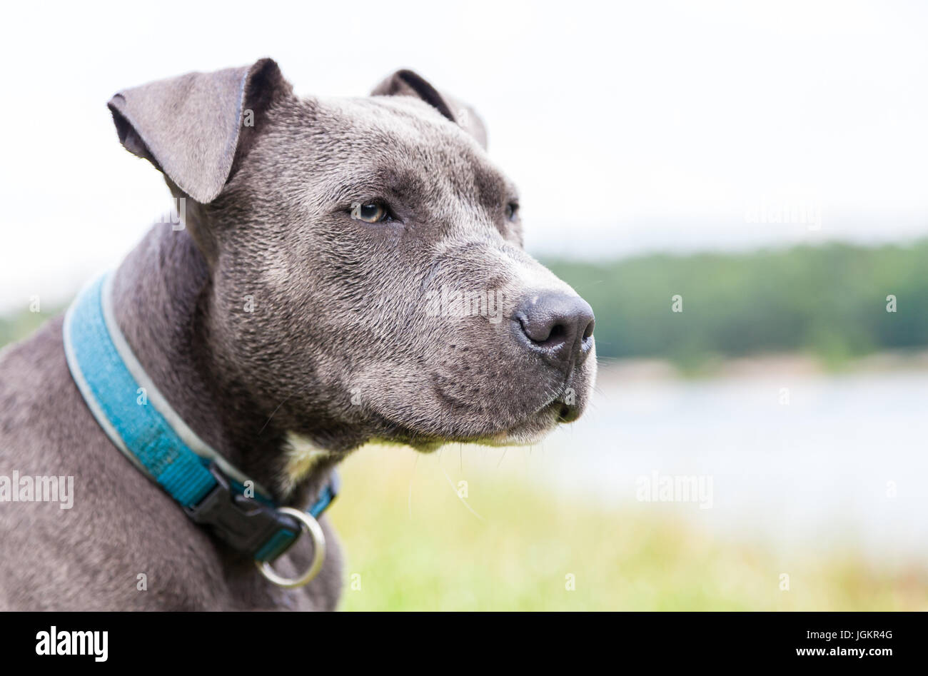 a young pitbull with blue collar portrait - Stock Image