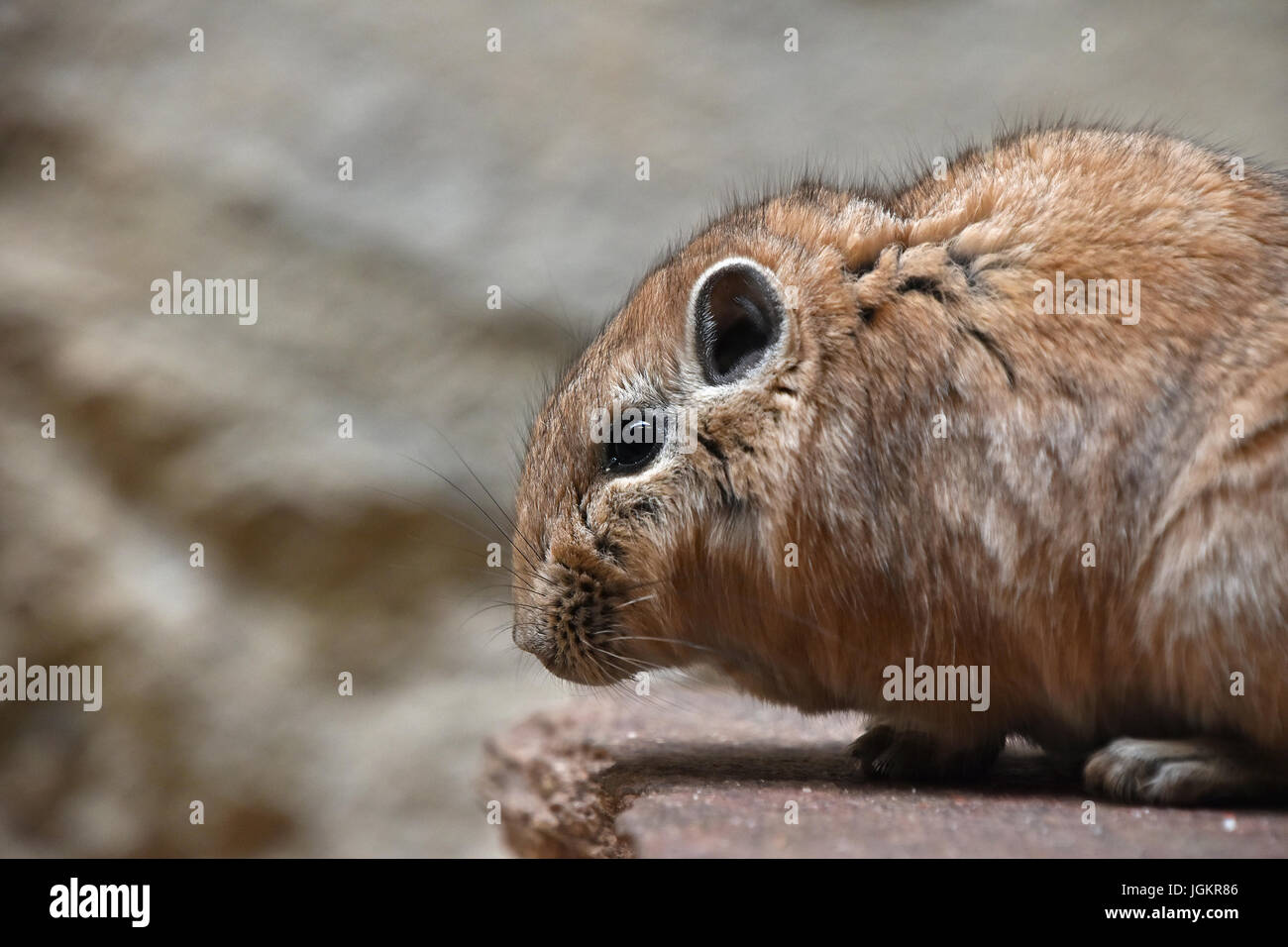 Close up side profile portrait of Gundi comb rat, African rodent, standing on stone, low angle view - Stock Image