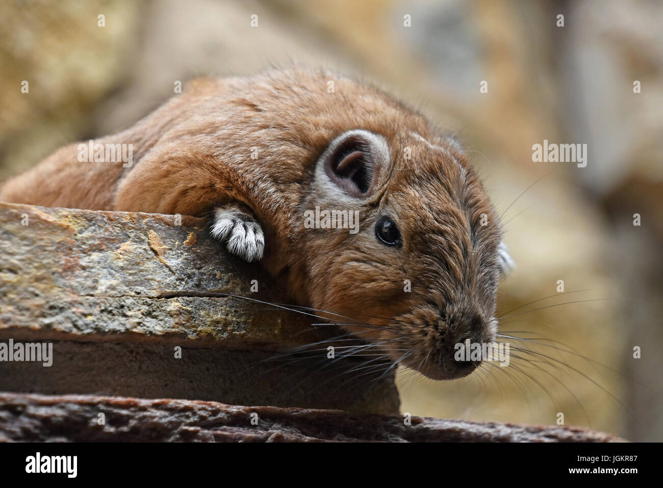 Close up portrait of Gundi comb rat, African rodent, laying down relaxed on stone and looking at camera, low angle - Stock Image