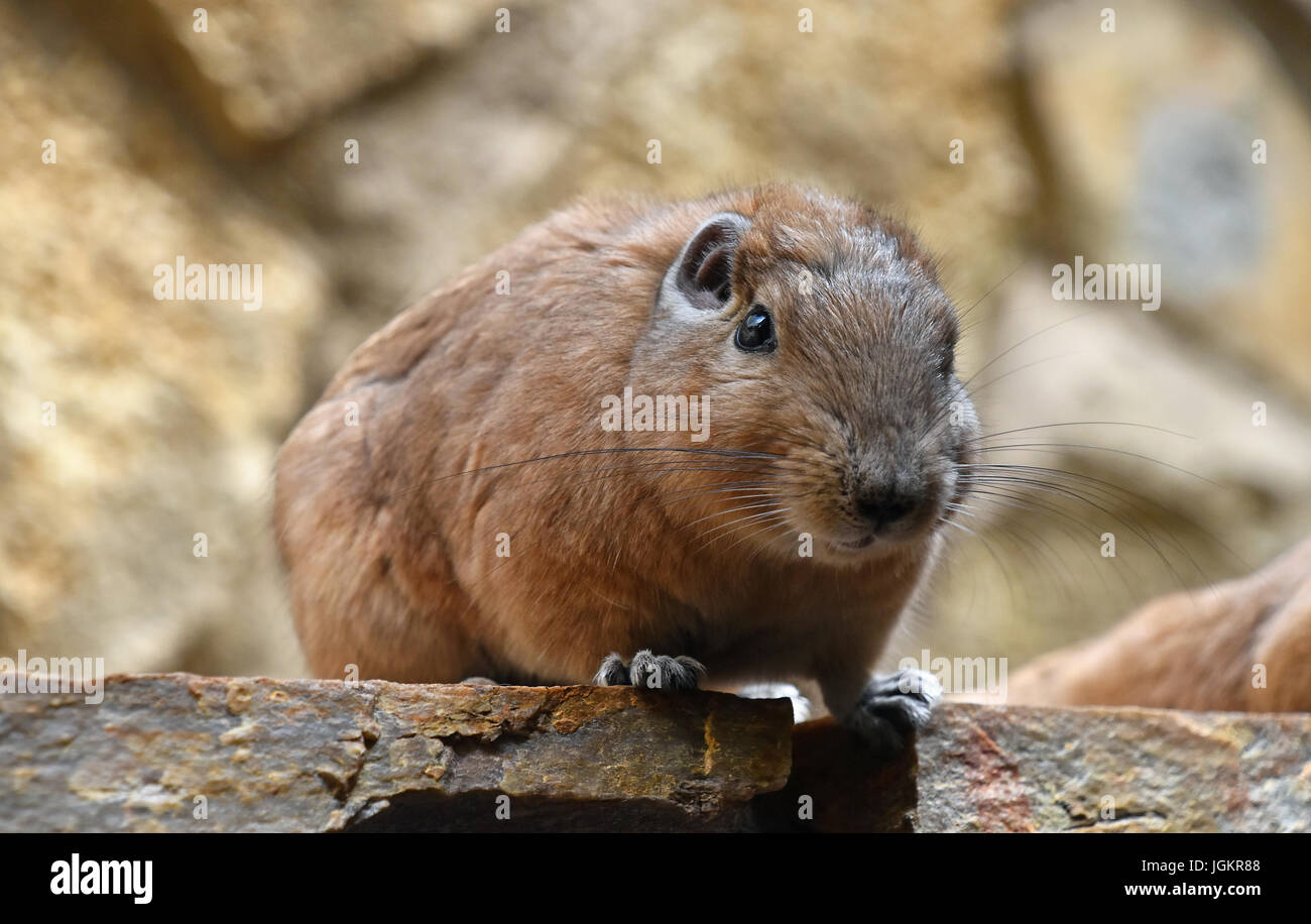 Close up portrait of Gundi comb rat, African rodent, sitting on stone and looking at camera, low angle view - Stock Image