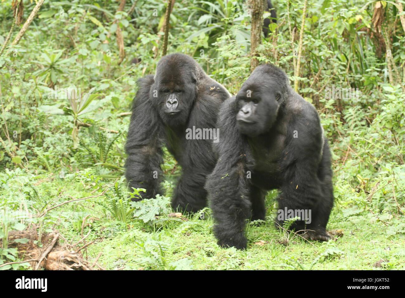 Pair of mountain gorillas. Rwanda - Stock Image