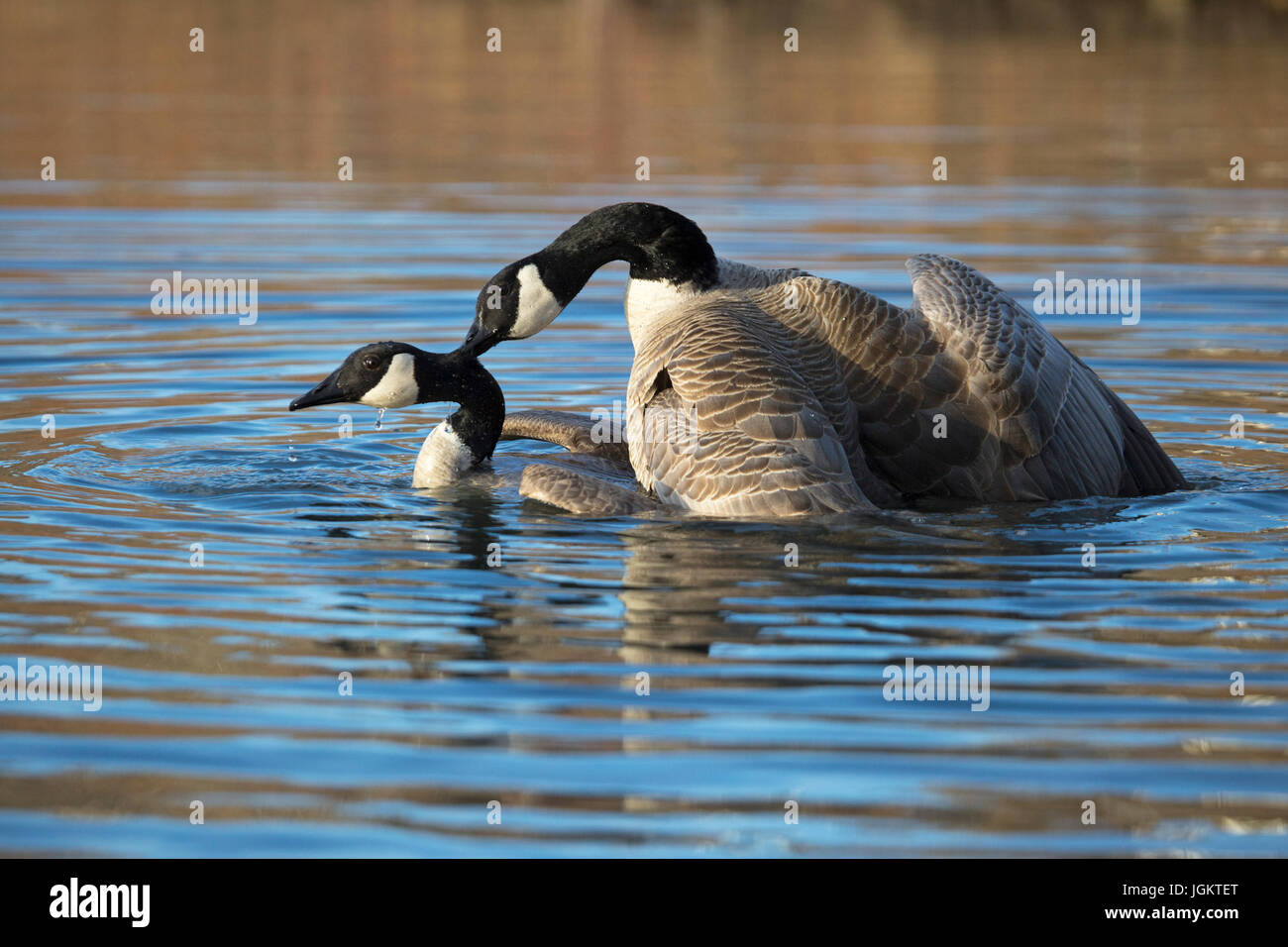 Canada Geese mating in pond (Branta canadensis) - Stock Image