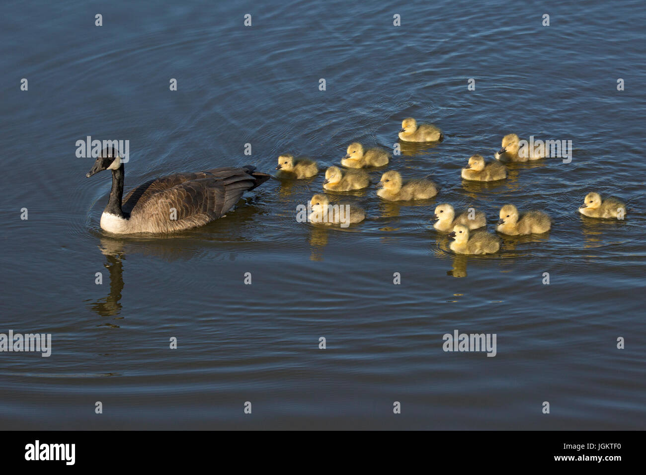 Canada Goose parent leading crèche of goslings (Branta canadensis) - Stock Image
