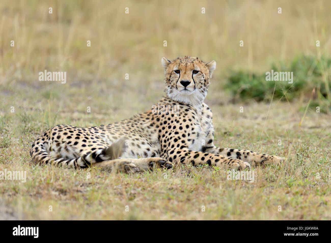 Wild african cheetah, beautiful mammal animal. Africa, Kenya - Stock Image