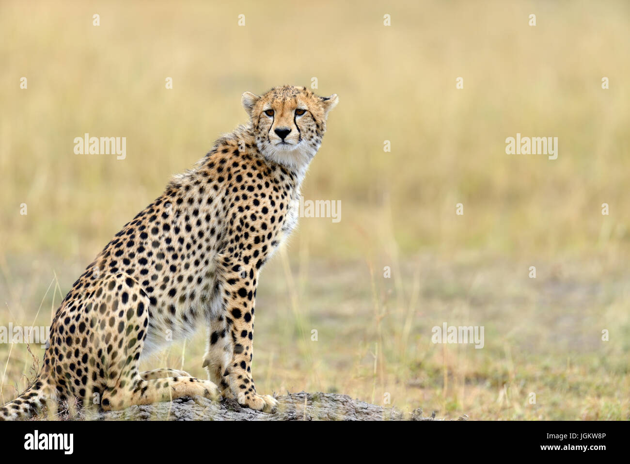 Cheetah on grassland in National park of Africa Stock Photo