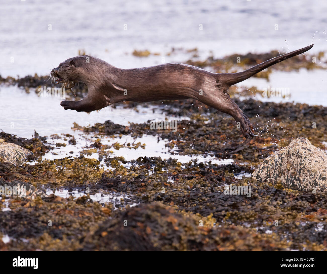 Eurasian otter (Lutra lutra) leaping bewteen rocks with a crab, Shetland, UK - Stock Image