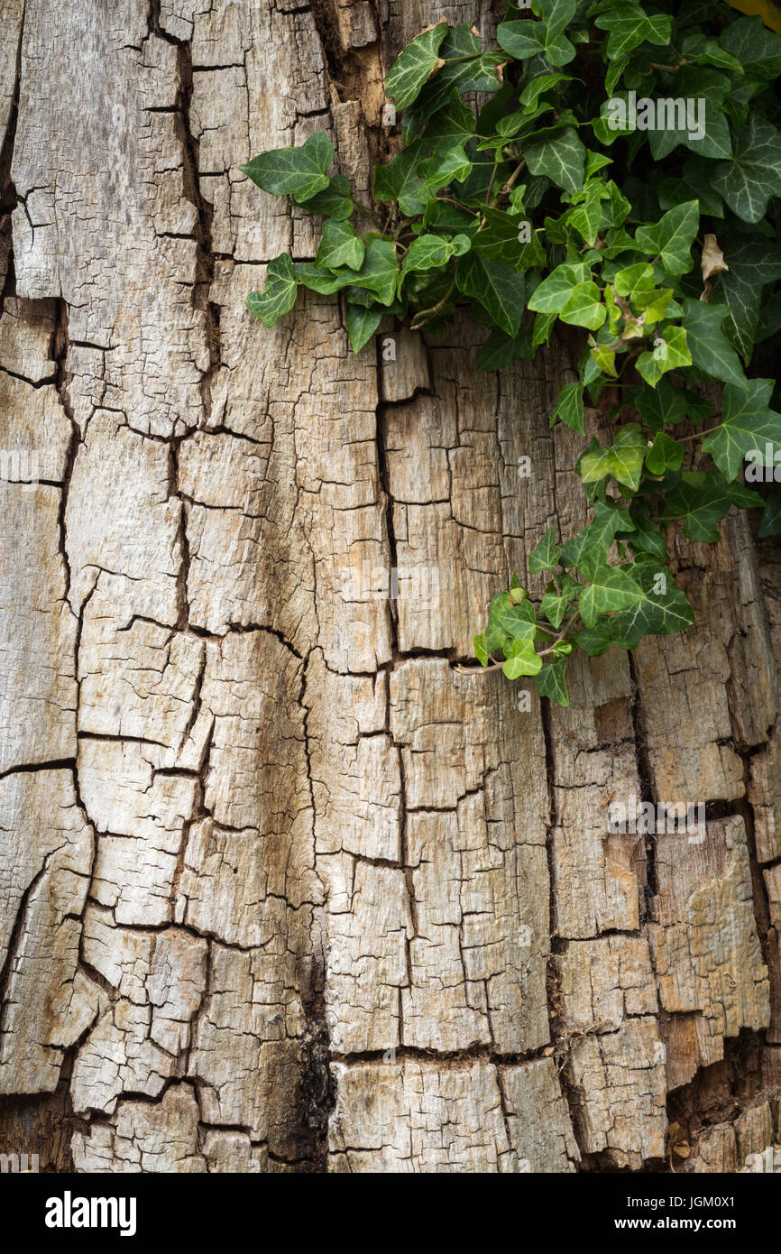 Old cracked tree bark partially covered in ivy, vertical with copy space - Stock Image