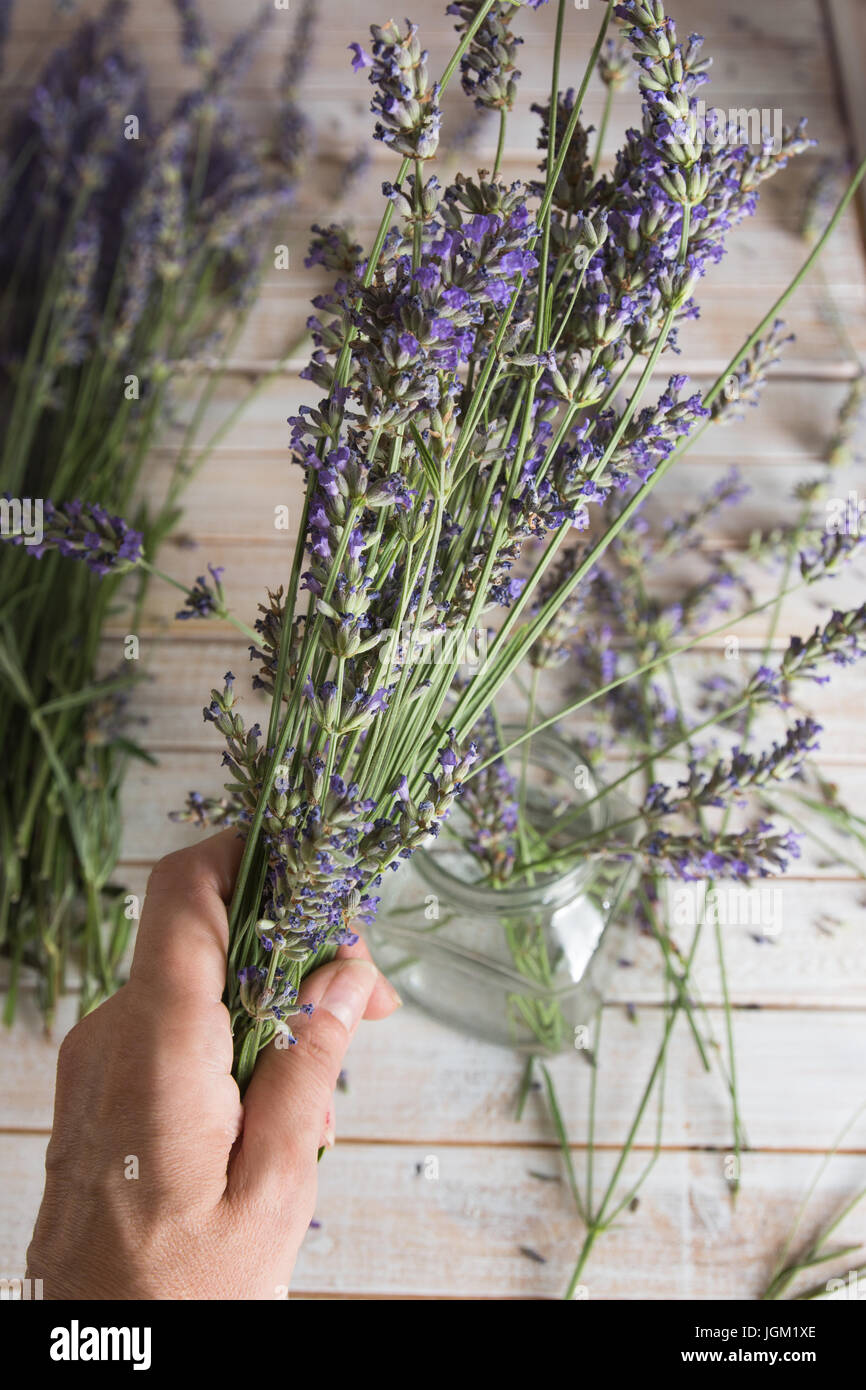 Woman hand holding a bouquet of natural lavender, small business concept - Stock Image