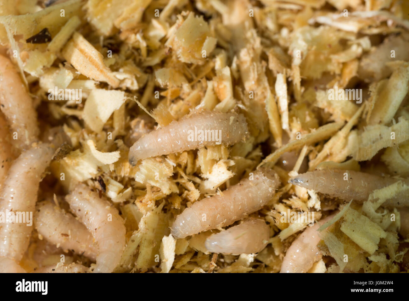 Creeping larvae of the white fly are used as bait on fishing Stock Photo