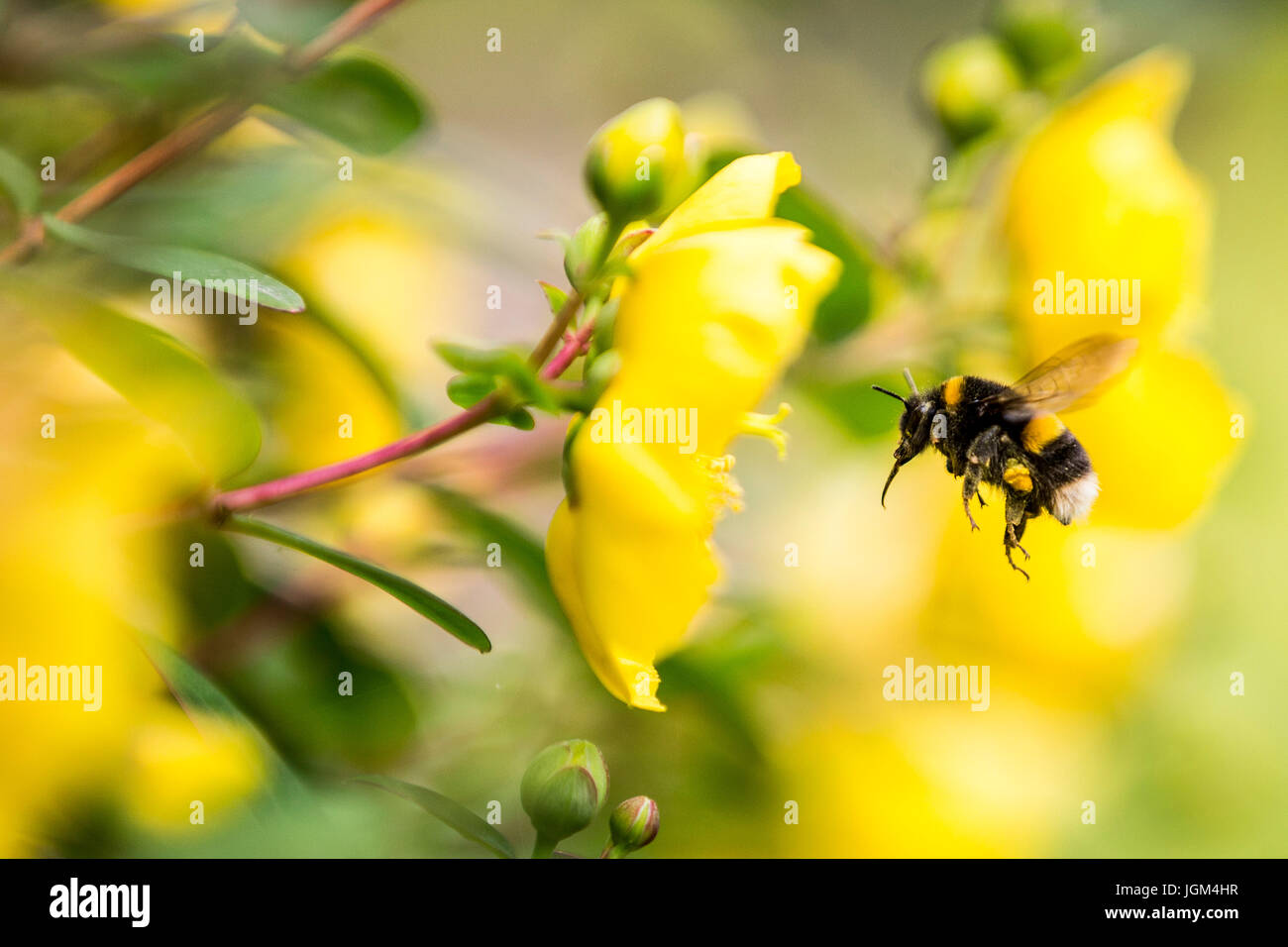 Bumble Bees collecting pollen from Rose of Sharon - Stock Image