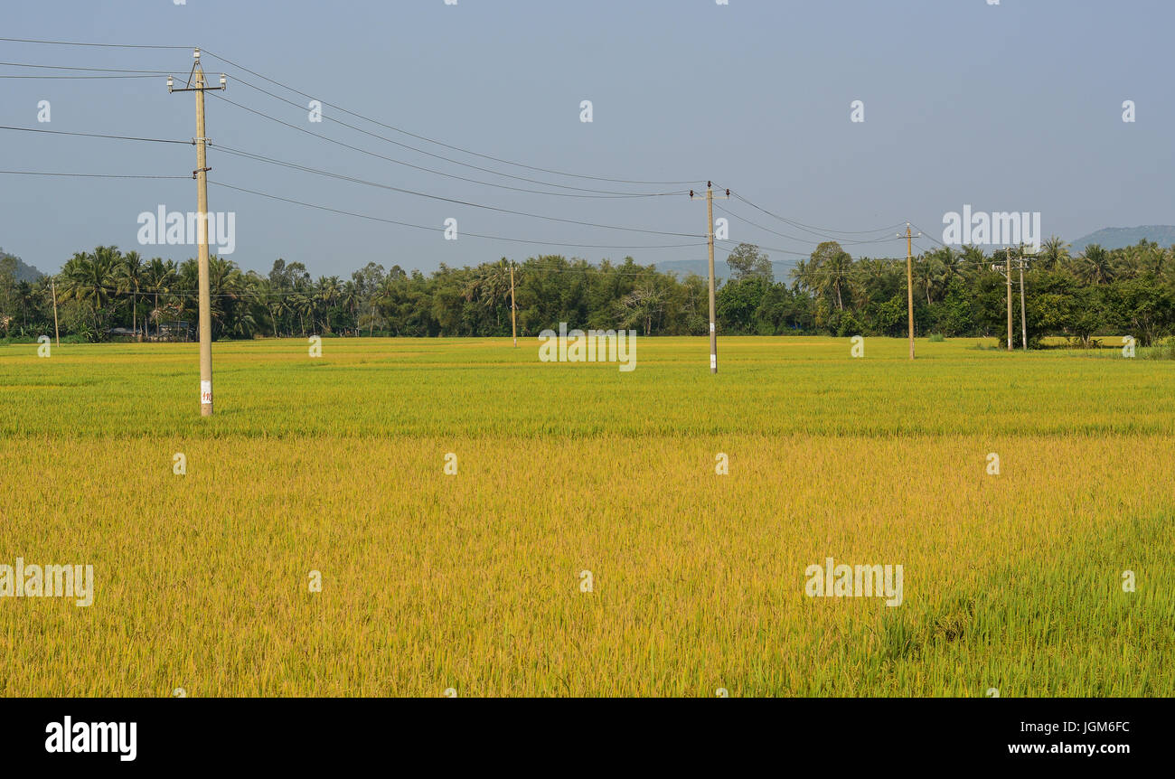 Rice field at autumn in Mekong Delta, Vietnam. The Mekong Delta is a rich, lush area, where the mighty Mekong River - Stock Image