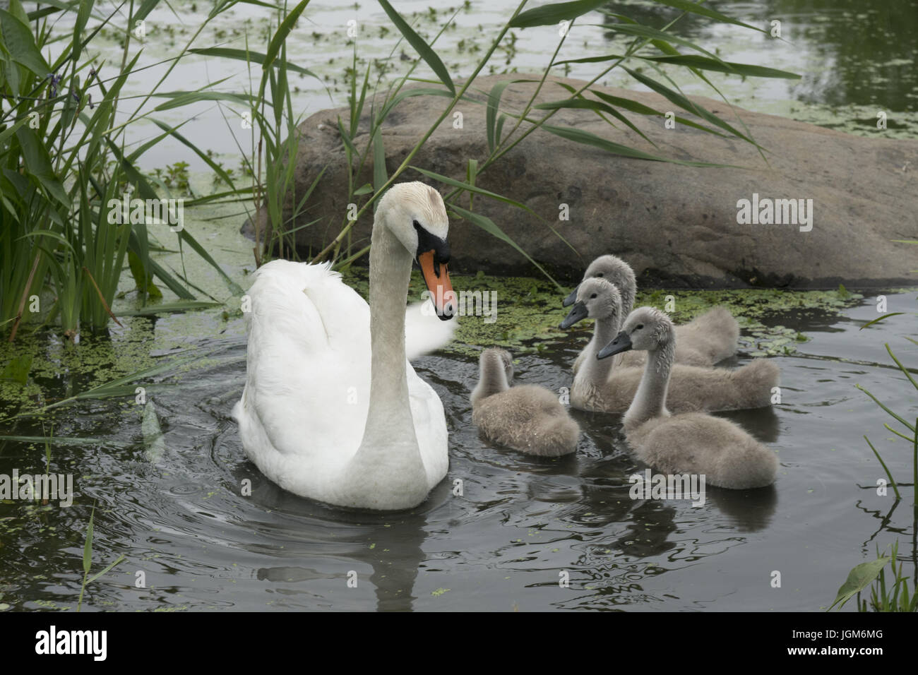 Mother swan with her babies (cygnets) feeding near the shore on the lake in Prospect Park, Brooklyn, NY. Stock Photo
