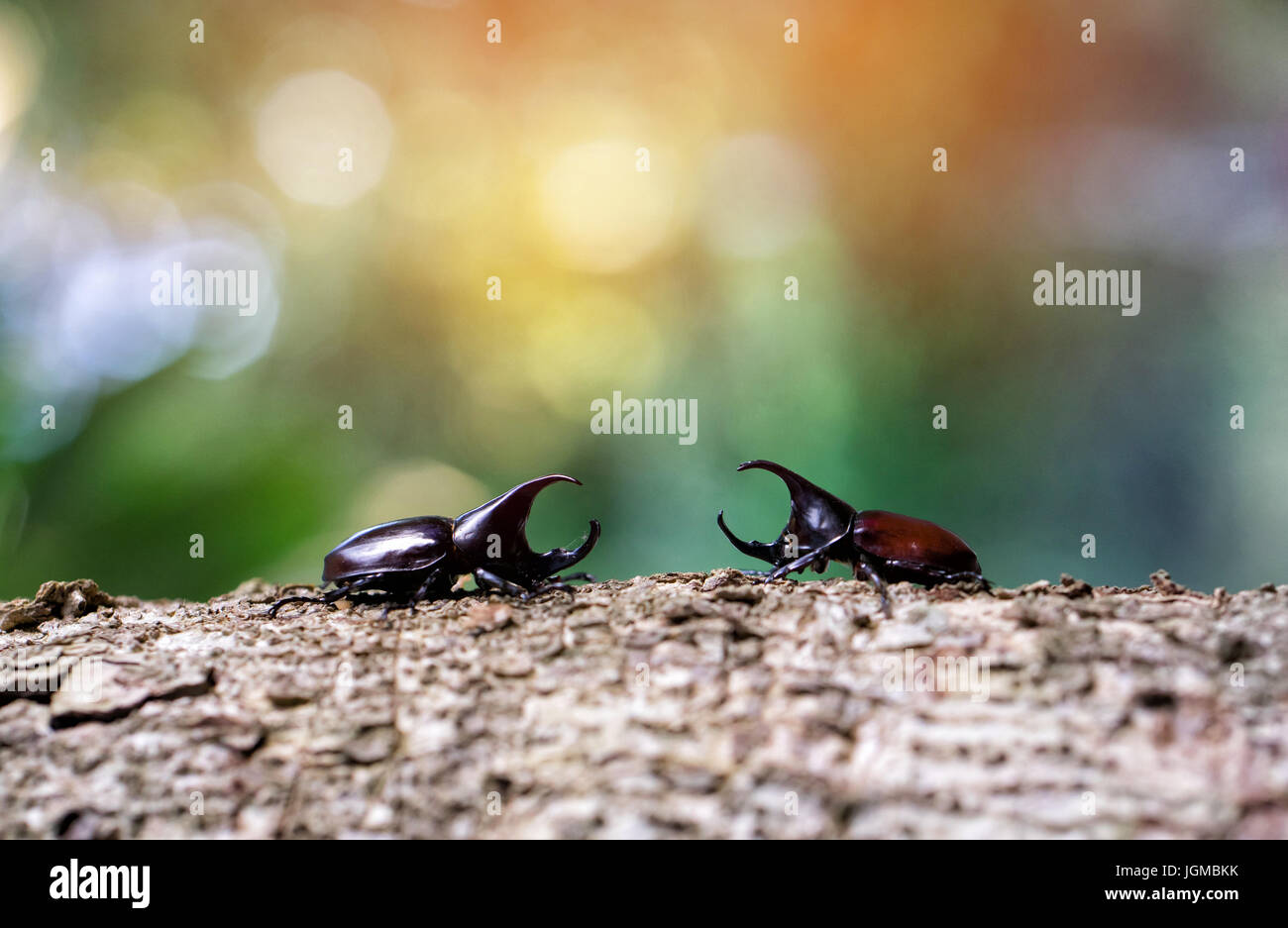 Stem eating beetle (Xylotrupes gideon L.) prepare to fight - Stock Image