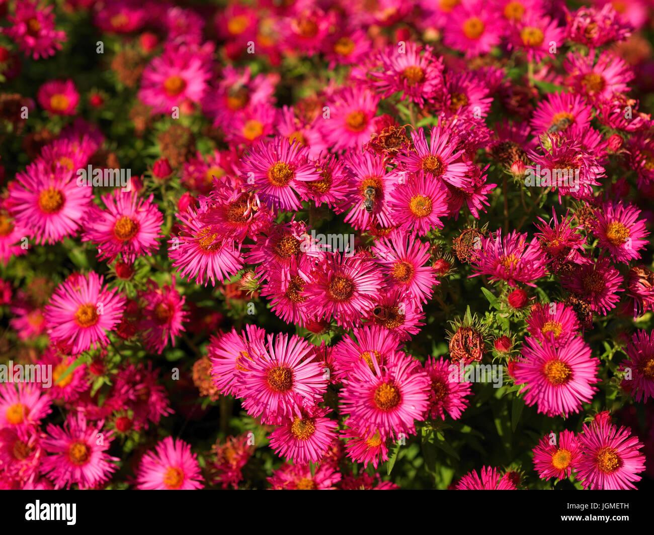 Rose Herbstaster Pink Aster Rosa Herbstaster Pink Aster Stock