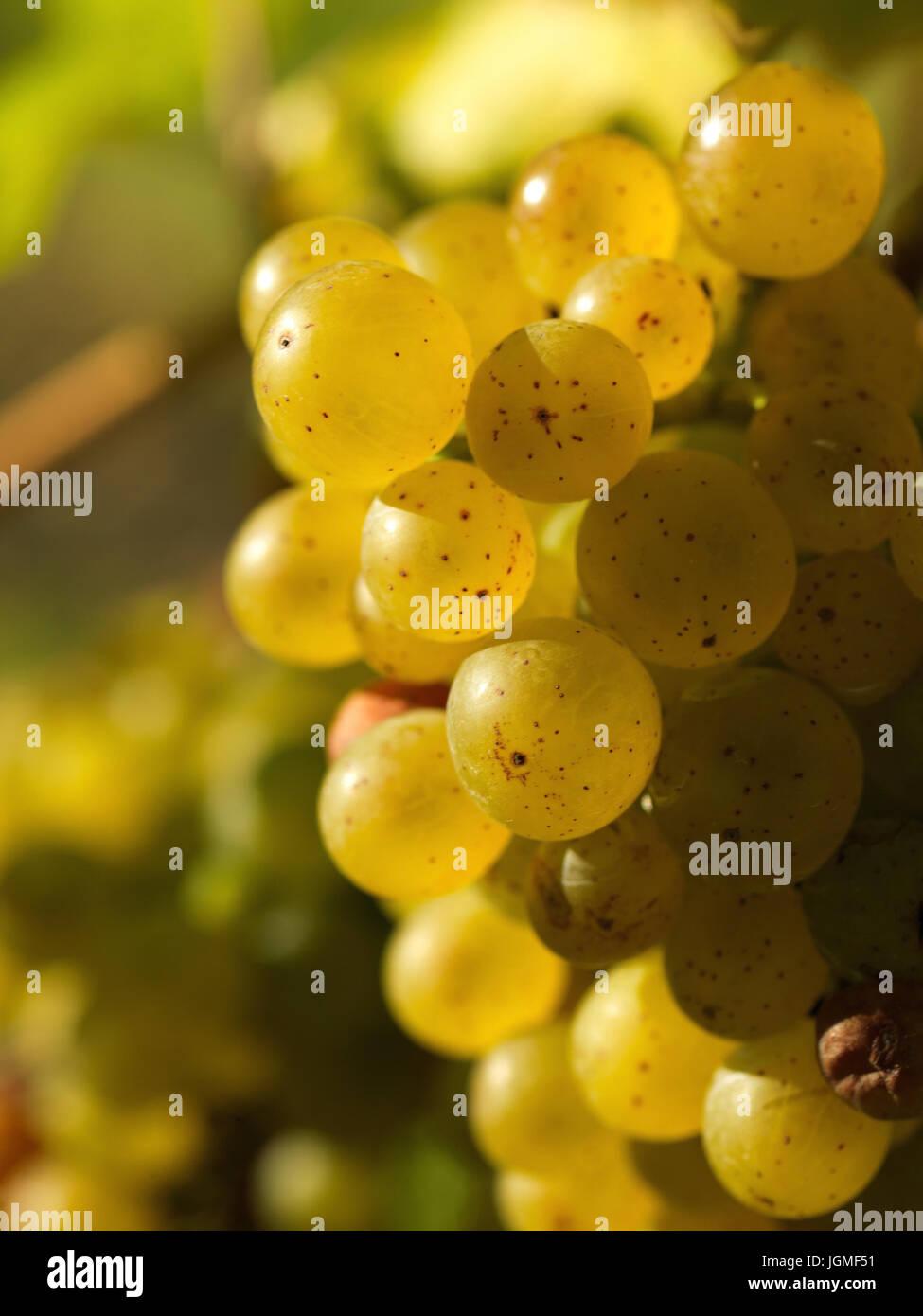 Bunch of grapes - Grape, Weintraube - Grape Stock Photo