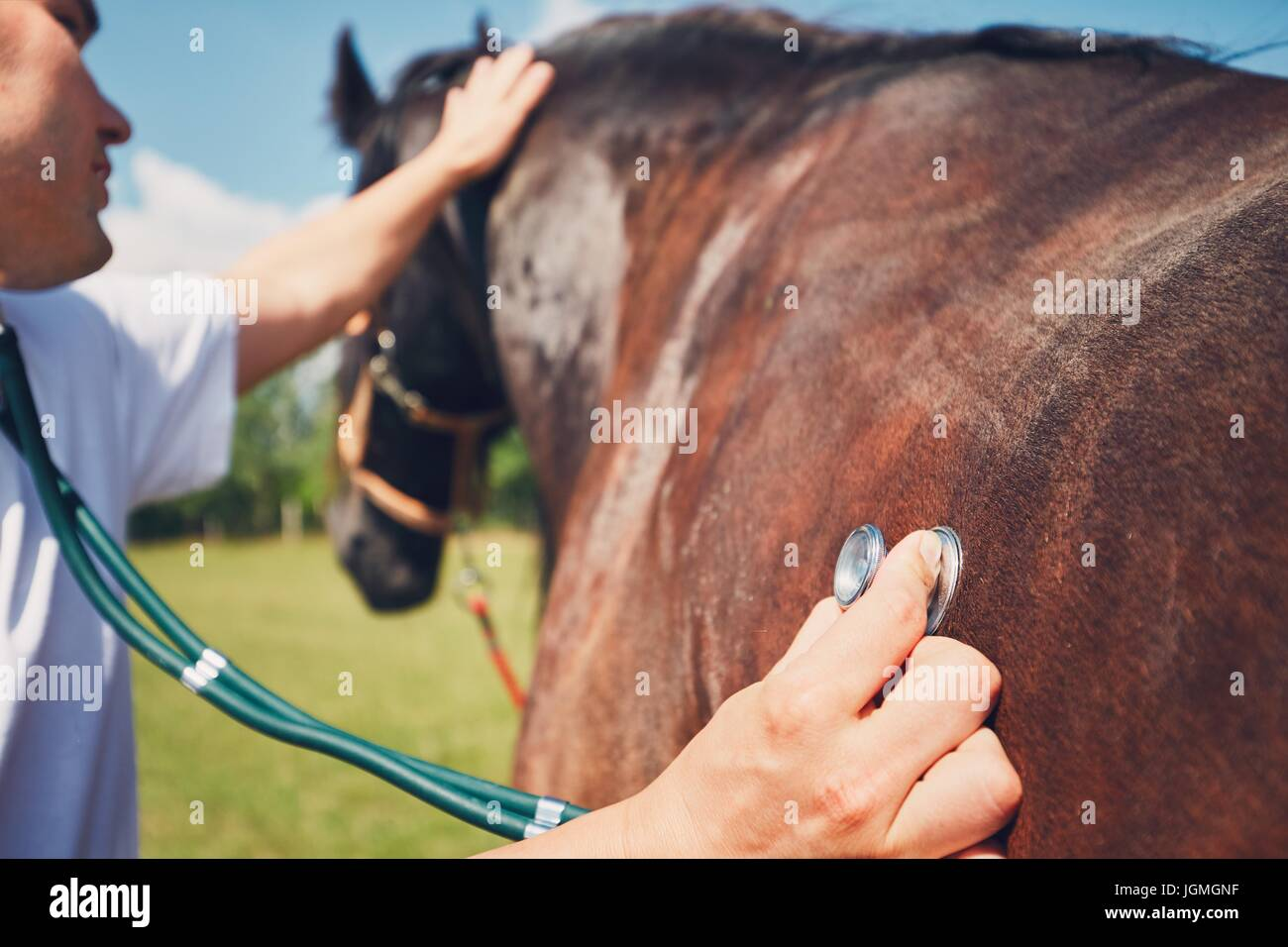 Veterinarian during medical exam (listening to heartbeat and lung) of the horse. - Stock Image