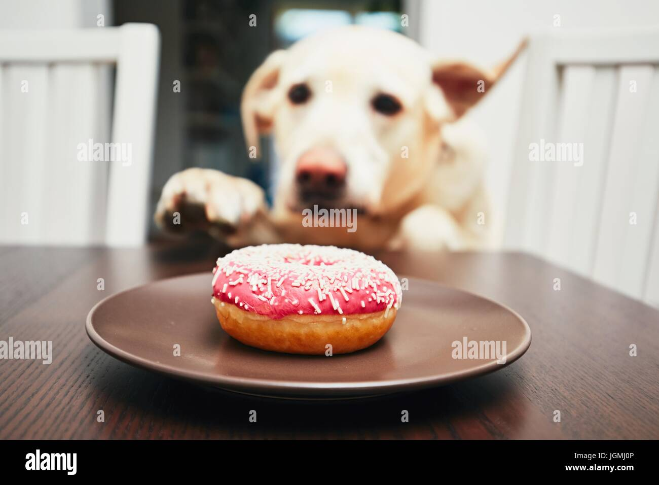 Mischievous dog in home kitchen. Naughty labrador retriever steals the donut from the table. - Stock Image