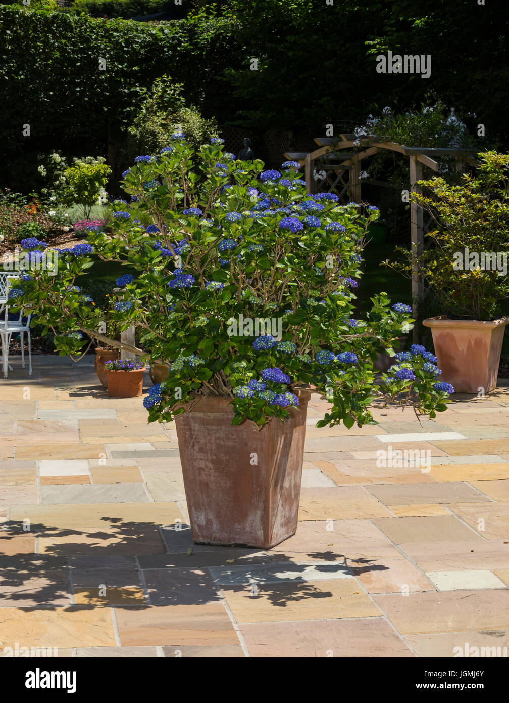 Large mop head bright blue hydrangea grown in a large pot container on a patio. - Stock Image