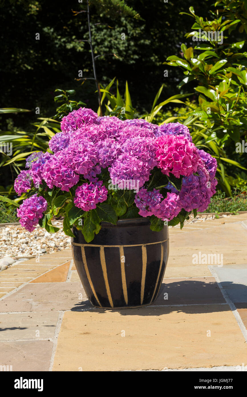 Large mop head deep pink hydrangea grown in a large pot container on a patio. - Stock Image