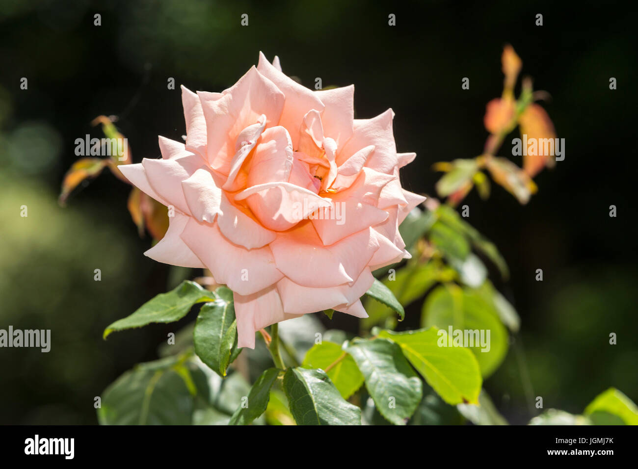 Rose Breath of Life, low growing climbing rose, apricot to pink hybrid tea flowers, - Stock Image