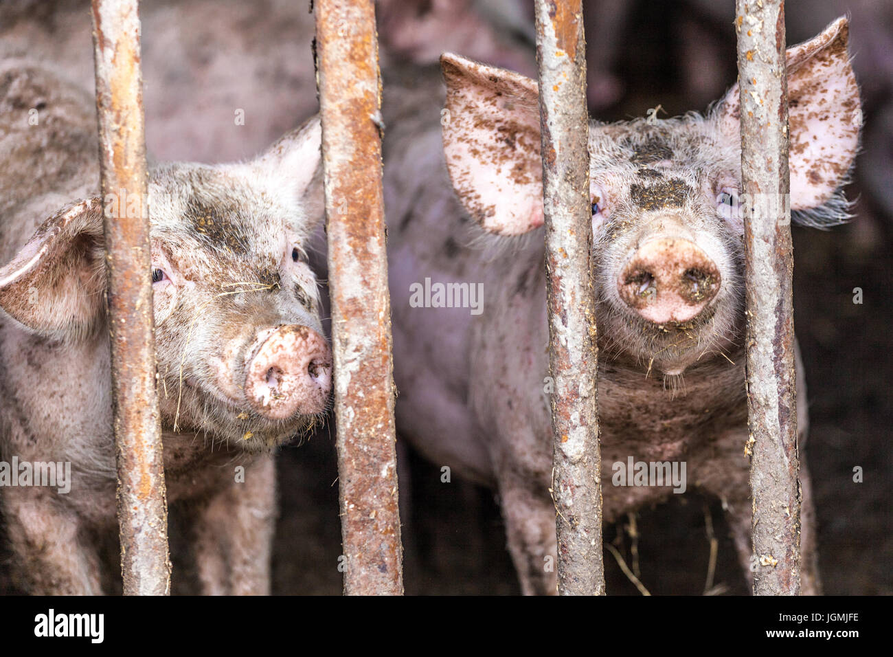 Hungry dirty pink piglet in a farm - Stock Image