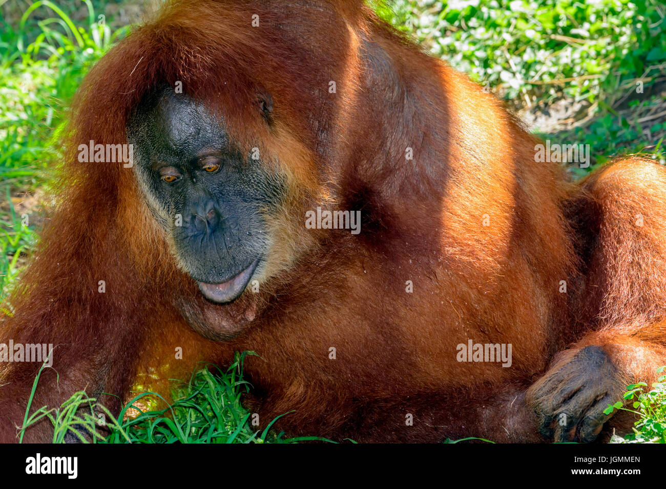 Orangutan, orang-utan, orangutang, or orang-utang, Asian great apes native to Indonesia and Malaysia, in the rainforests Stock Photo