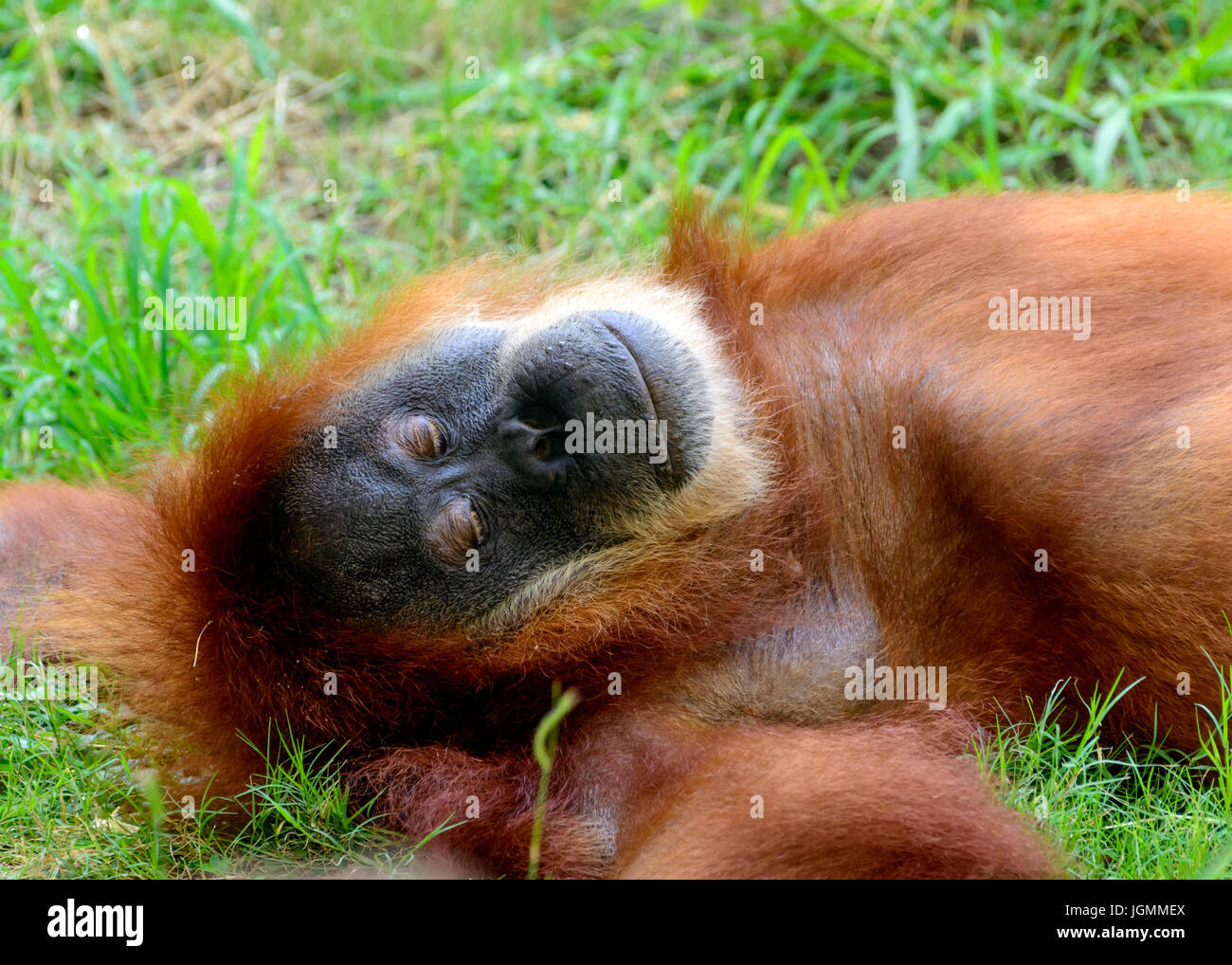 Orangutan, orang-utan, orangutang, or orang-utang, Asian great apes native to Indonesia and Malaysia, in the rainforests - Stock Image