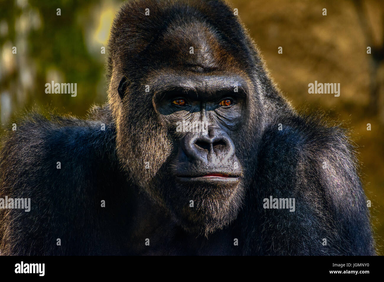Male Silverback Western Lowland gorilla, (Gorilla gorilla gorilla) close-up portrait with vivid details of face, - Stock Image