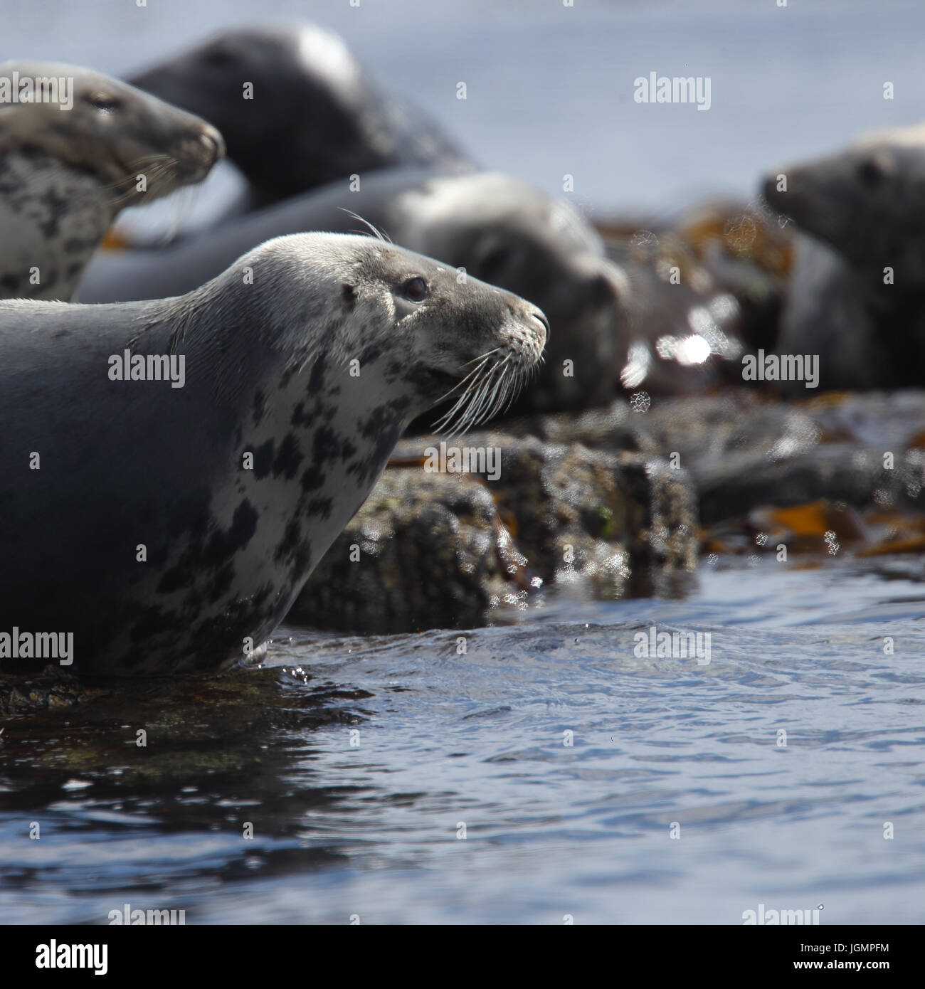 Grey Seal (Halichoerus grypus) resting on rocks at the water's edge, Farne Islands, Northumbria, England, UK. Stock Photo