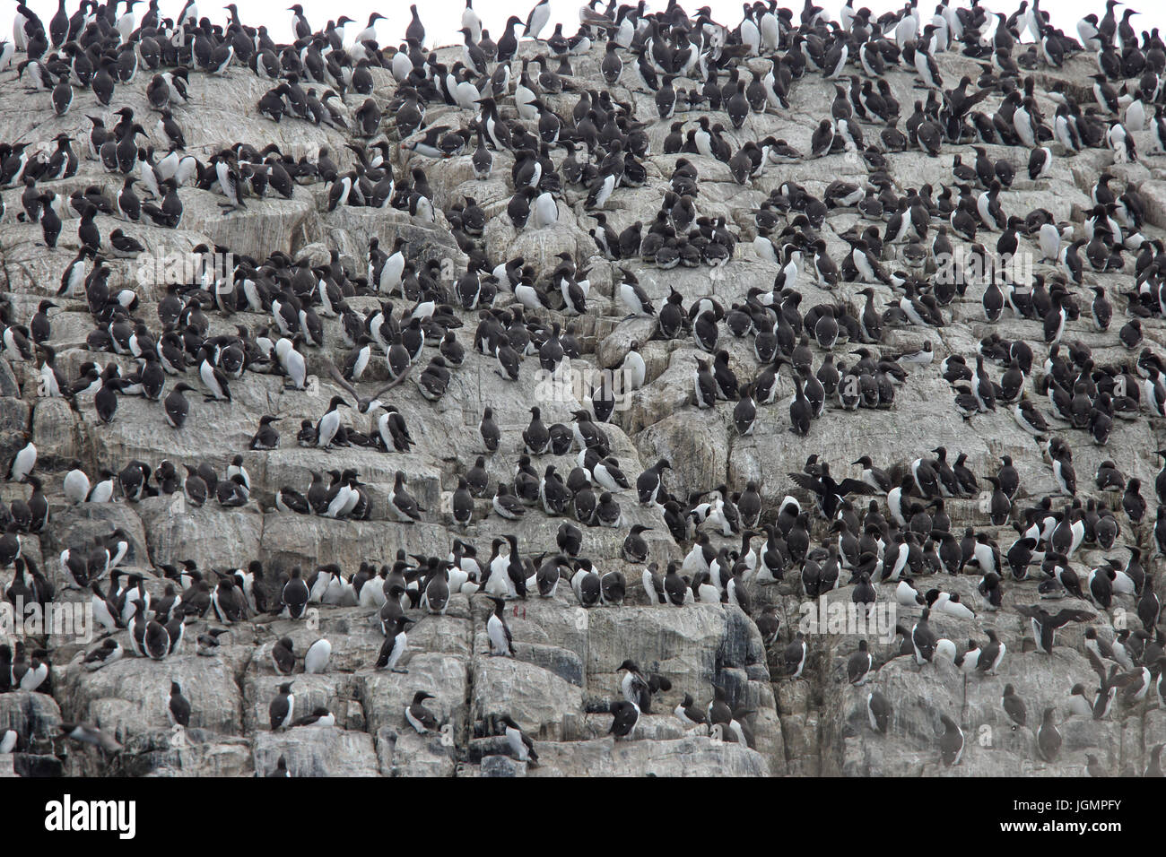 A colony of Guillemots (Common Murres, Uria aalge) on nesting cliffs, Farne Islands, Northumbria, England, UK. Stock Photo
