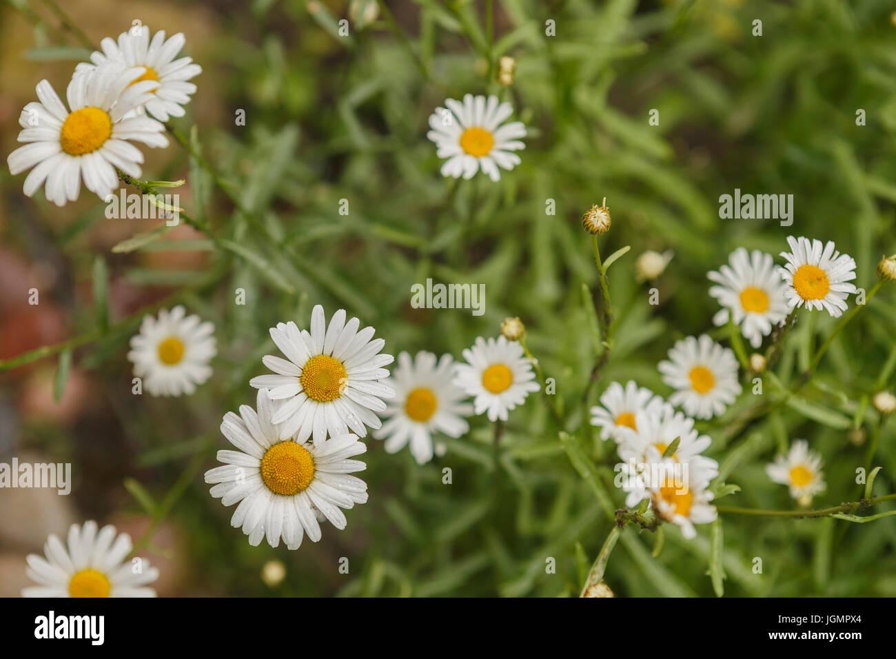 Chamomile field (Matricária) - Stock Image