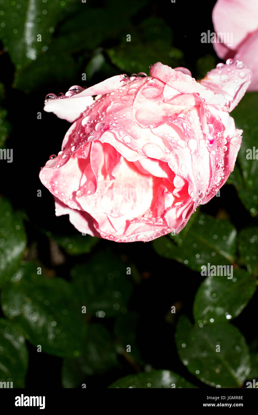 Flowers in English gardens after the rain. Droplets of rain on pink roses and Nasturtium - Stock Image