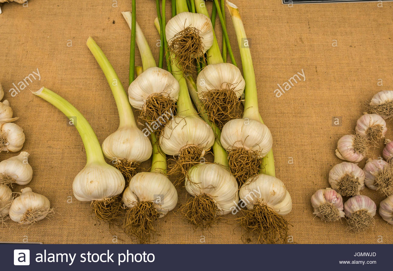 Close up of Allium Ampeloprasum, elephant garlic market stall display at RHS Hampton Court Flower Show, July 2017, - Stock Image