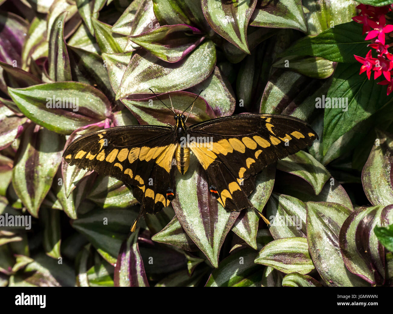 Close up of tropical exotic yellow swallowtail butterfly, Papilionidae - Stock Image