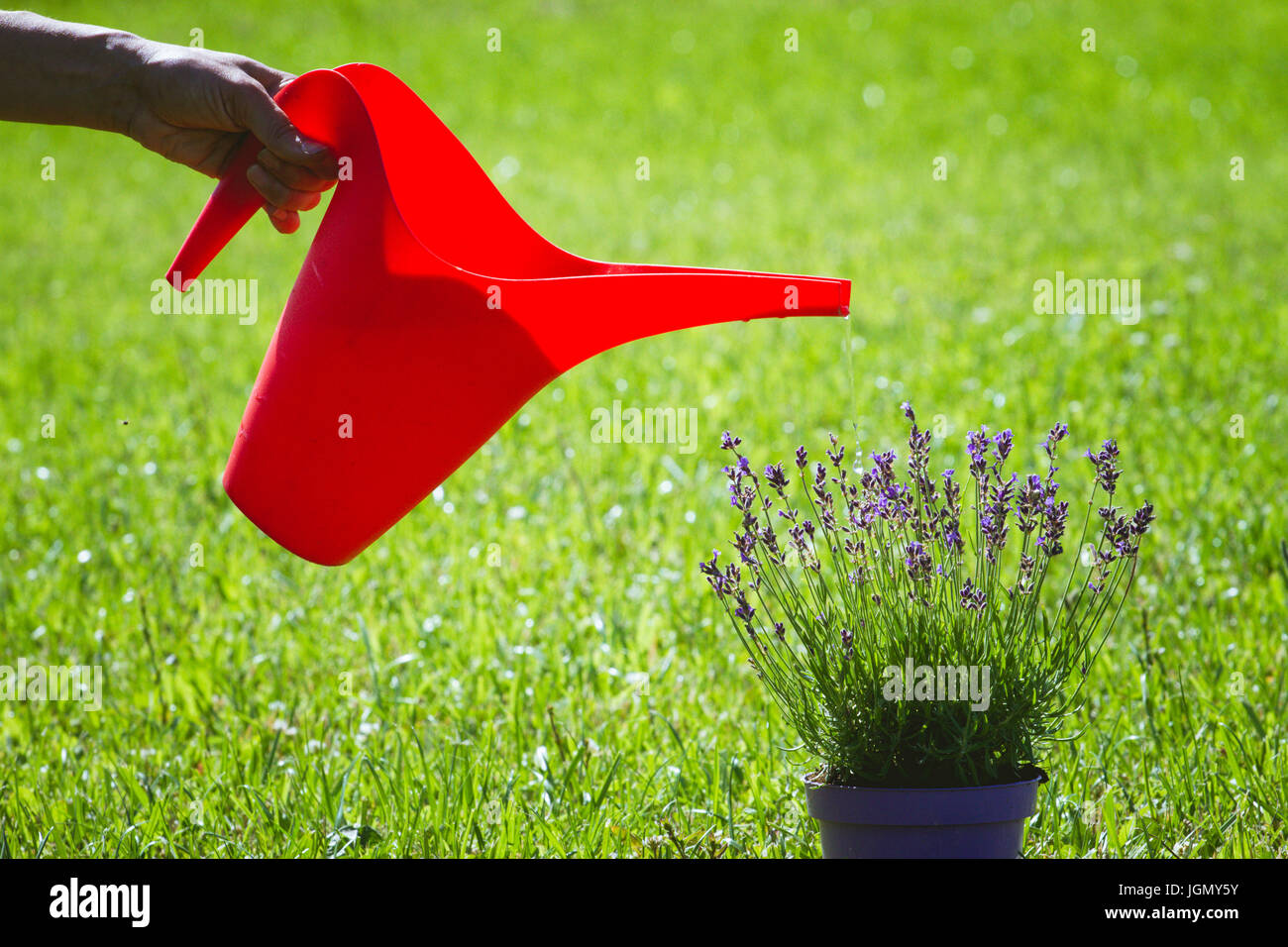 Woman's hand holding red watering can and watering lavender flowerpot. - Stock Image