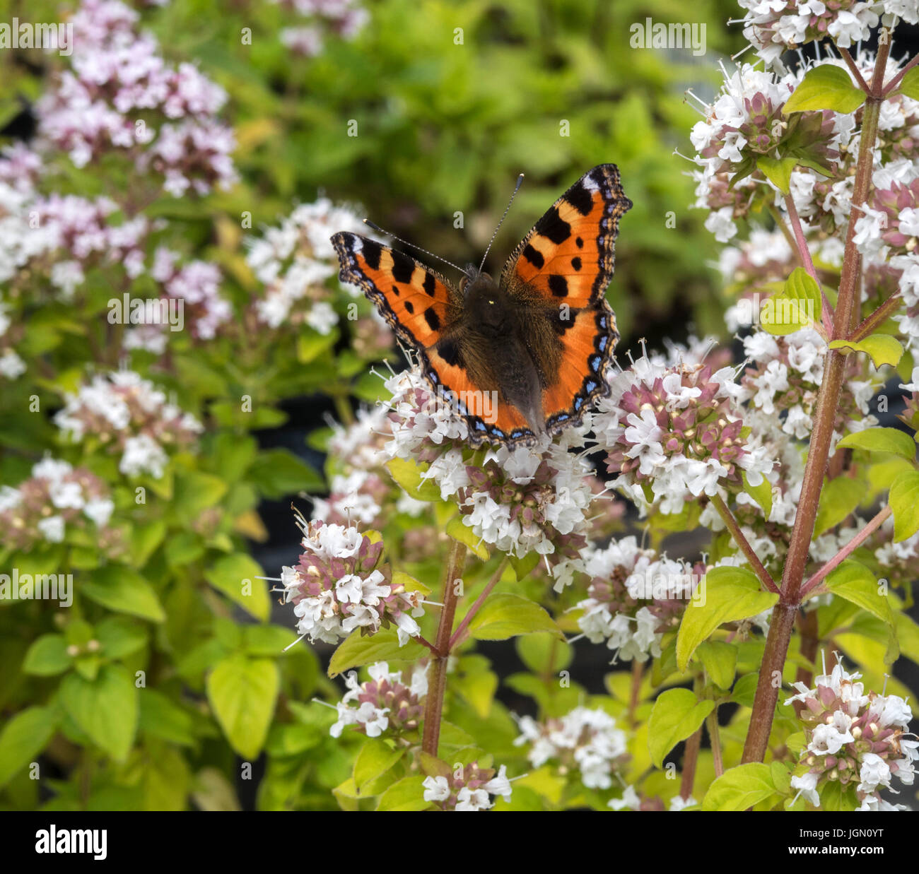 Small Tortoiseshell butterfly, Aglais urticae, in an English garden. - Stock Image